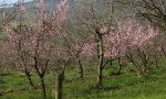 With the first warm days the peaches blossom...