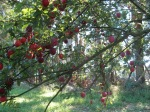Then summer's here,  so sweet and juicy -santa rosa plums, the first to ripen